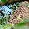 Parus cinereus 蒼背山雀