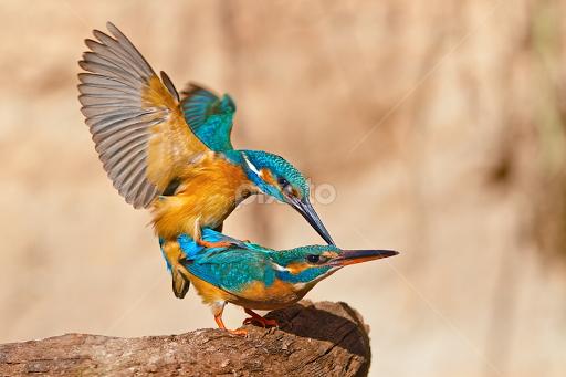 Sex of birds