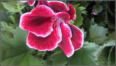 Photo: Mușcată englezeasca (Pelargonium) - din Piata Centrala Agroalimentara - 2017.05.11