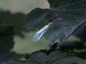 Photo: Green Lacewing