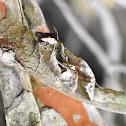Common Fruit-piercing Moth