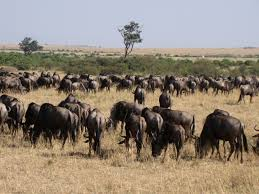 Image result for some wildebeest