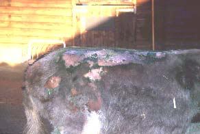 Self inflicted skin trauma as a result of Choriotes infestation. A similar self trauma could be caused by several conditions and biopsy of such a site is not usually diagnostically helpful. It is far better to obtain groomings and brushings from the wider region and examine for the presence of ectoparasites. In this way it is possible to harvest a few mites from a large area. If Sarcoptes scabei or Demodex spp. are suspected then deep skin scrapings or biopsy may help.