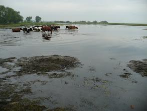 Photo: Codziennie setki krów przepływają Biebrzę w drodze na pastwiska, a po południu same wracają. Wspaniały spektakl!