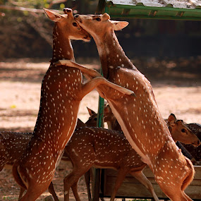 Yet Another Duel  by Balaji Mohanam - Animals Other Mammals ( action, spotted deer, deer )
