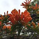 Orange trumpet