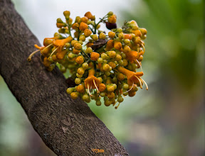 Photo: [RO] Un copac ale carui flori cresteau direct pe trunchi  [EN] A tree whose flowers were growing directly on the trunk   #hqspflowers+102601515420286314808 curated by +113700935647920525743 +105883892692776728541 +114791223680782529226+113809386181419471333 +117633206937271900880 +117371228393907747239 and+114791223680782529226