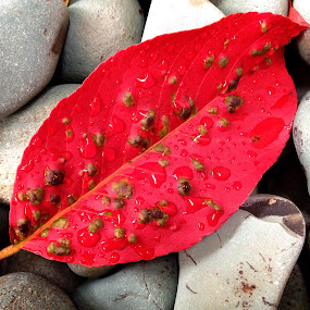Red leaf by Terry Teo - Nature Up Close Leaves & Grasses