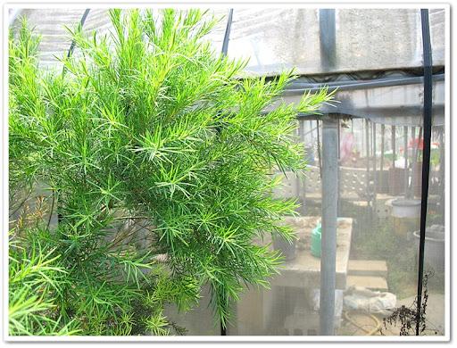 不知名可蒸餾出精油的植物
