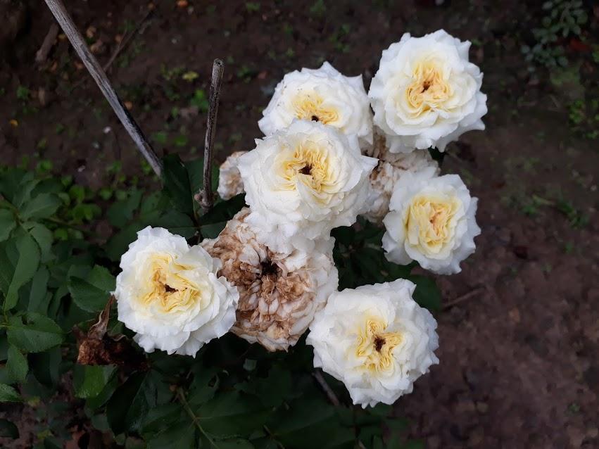 Cây hồng Patience Rose đã nở một chùm hoa màu trắng vàng, trông khá đẹp nhưng form vẫn chưa tròn trịa hẳn