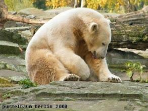 Photo: Knut betreibt Fellpflege ;-)
