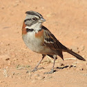 Rufous-collared sparrow (aka Andean sparrow)