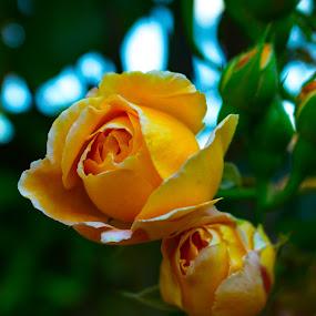Lady Of Shalott by Meeta Thakur - Flowers Flower Gardens ( hybrid, english, rose, shrub )