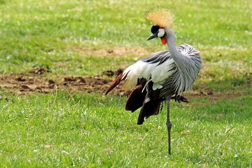 crane.jpg - A grey crowned crane in Hamilton, Ontario.