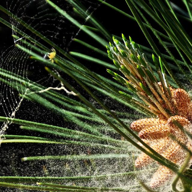 Сосна черная (Pinus nigra) выбрасывает пыльцу