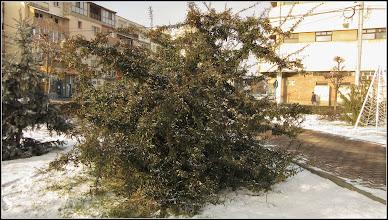 Photo: Pyracantha, Cătină ornamentală (Pyracantha coccinea)  - din Turda, Parcul Teilor - 2019.01.09