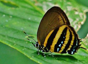 Photo: Unidentifizierter Schmetterling im Regenwald am Rio Napo.