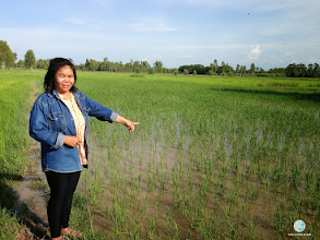 Photo: Ms. Thavee Yaknam from Ban Non Muang, Tha Tum , Surin showing her SRI experimental field