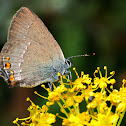 Sloe hairstreak; Mariposa endrinera oscura