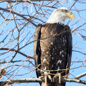Juvenile Bald Eagle by Tracy Lynn Hart - Animals Birds ( prey, raptor, predator, bird, eagle, perched, bald eagle, juvenile, talons )