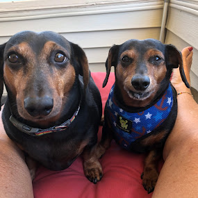 Franklin and Mikey  by Ann Goldman - Animals - Dogs Portraits ( big, brothers, dachshunds, dogs, little )