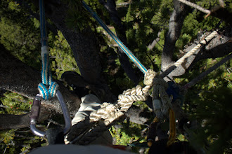 Photo: 60 feet up, tied in to a whitebark pine