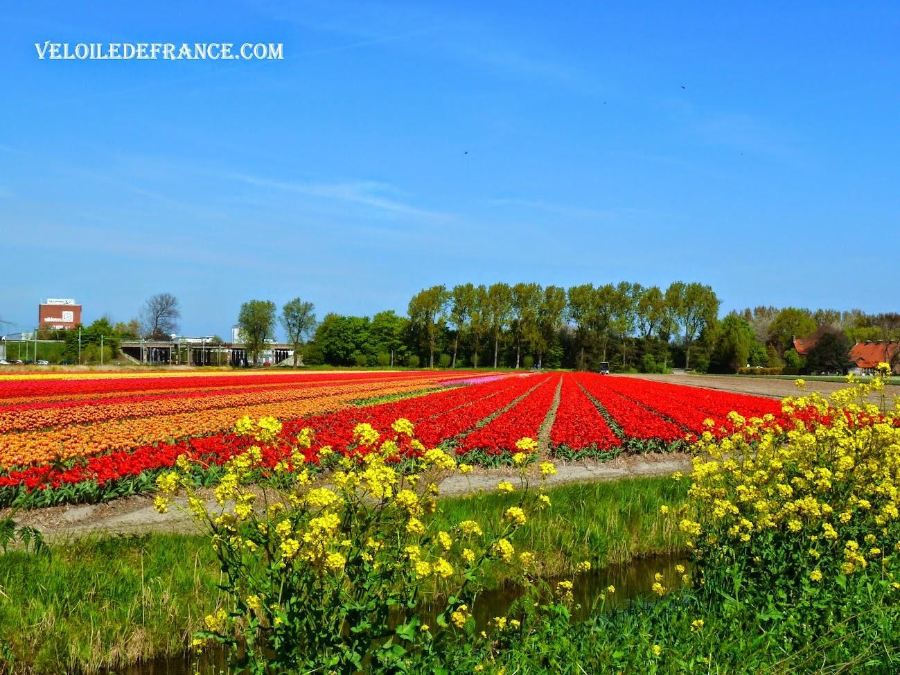 Les champs de tulipes au bord de la piste cyclable près de Leiden