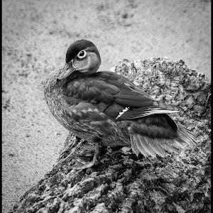 Wood Duck-21.jpg