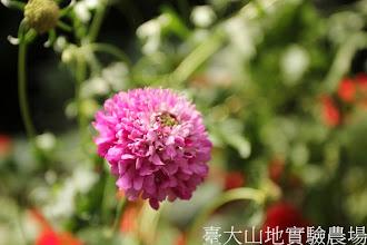 Photo: 拍攝地點: 梅峰-溫帶花卉區 拍攝植物: 松蟲草 拍攝日期:2012_07_24_FY