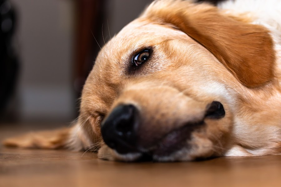 What are you doing? by Rick Shick - Uncategorized All Uncategorized ( golden retriever, puppy, dogs, portrait, dog )