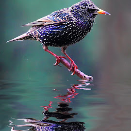 Reflet de sansonnet by Gérard CHATENET - Animals Birds