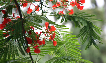 Photo: Day 316 - The Forest Flame Tree (Delonix Regia) on Side of Lotus Pond
