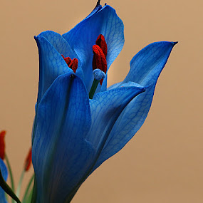 Lily Bud by Chrissie Barrow - Flowers Flower Buds ( stigma, red, single, stamens, lily, petals, blue, cut, bud, flower,  )