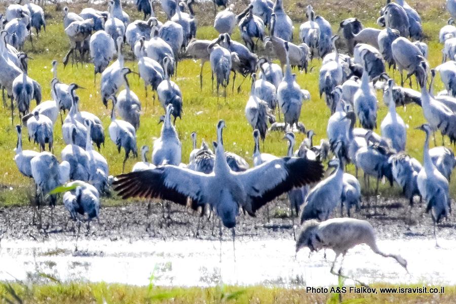 Наблюдения за серыми журавлями. Птицы в Израиле.