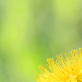 Yellowww by Stefano De Maio Fotografia - Flowers Flowers in the Wild ( macro, life, nature, flowers )