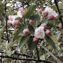 Sweet Crab Apple Tree