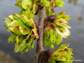 Photo: Wych Elm seeds