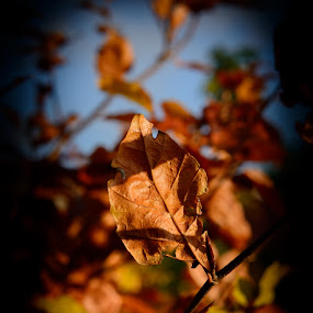 Color of Fall by Henrik  Krogsgaard - Nature Up Close Trees & Bushes (  )