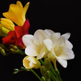 very pretty colorful freesia  by LADOCKi Elvira - Uncategorized All Uncategorized ( garden plants floral nature flower tree blossom nature )