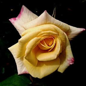Rose.... by Debapriya Bhattacharya - Nature Up Close Flowers - 2011-2013