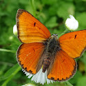 Large Copper (male)
