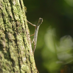 Sumatran gliding lizard by Affan Nasruddin - Animals Reptiles ( lizard, wildlife )