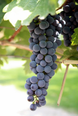 Grapes at Aquitania winery in the Maipo Valley in Chile