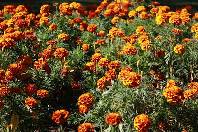 Marigolds in a park in Vina del Mar Chile