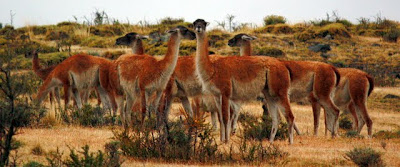 Guanacos in Patagonia Chile