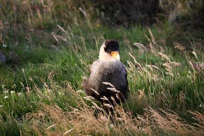 Condor in Patagonia Chile near Seno Otway