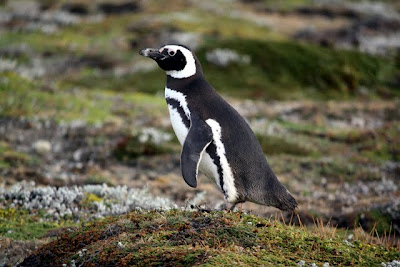 Penguin at Seno Otway in Patagonia Chile