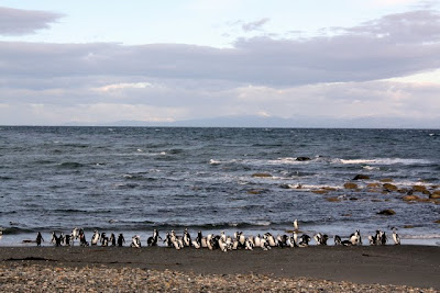Penguin colony at Seno Otway in Patagonia