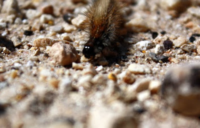 Caterpillar in Jordan