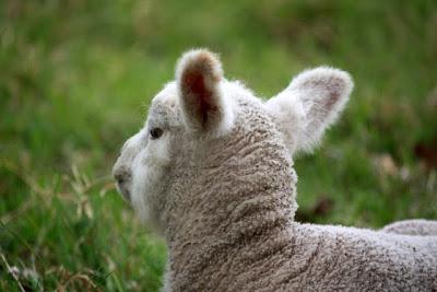 羔羊Peaslake附近在英国萨里